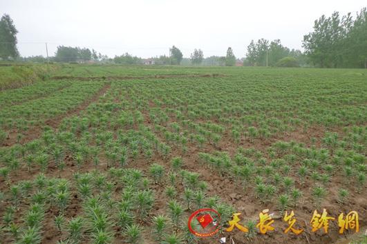 天长市汊涧镇村级集体经济发展纪实三 发展特色产业 创新增收途径 -